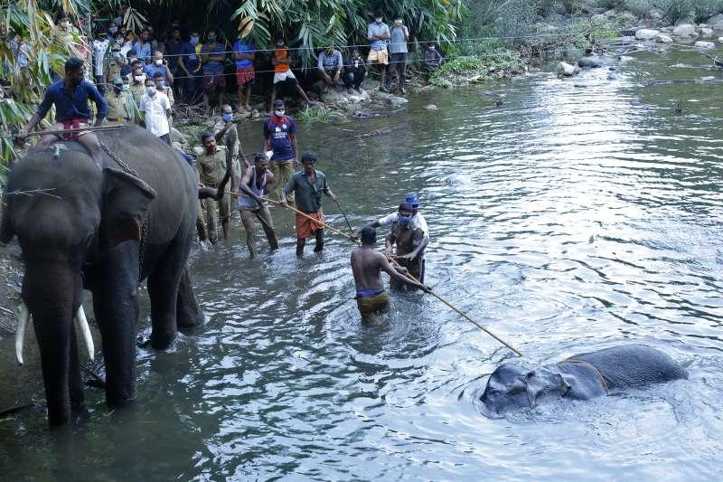 印度喀拉拉邦日前發生懷孕母象食用遭人類塞入爆竹的水果,不幸死亡的事件,激起全印度怒火(美聯社)