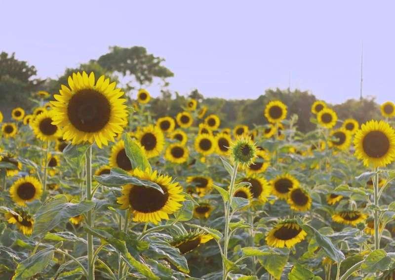 向日葵花季為5至10月。(圖/ilovefun0420)