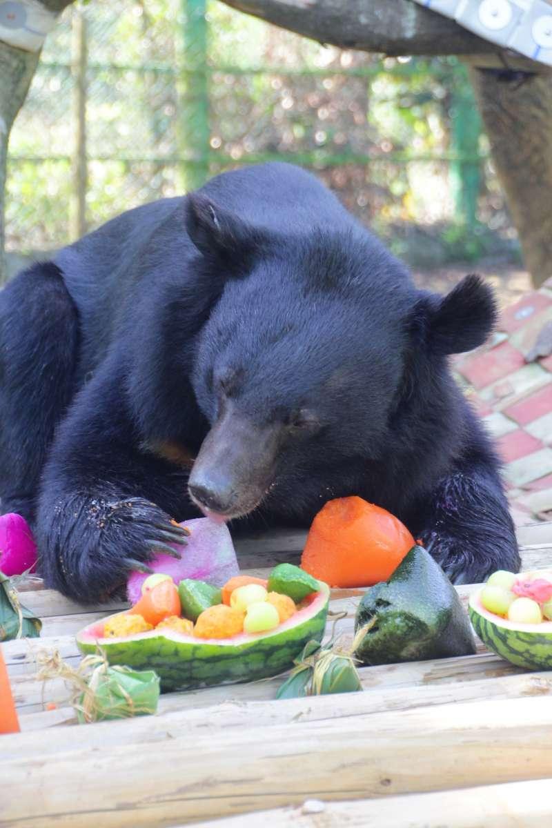 六福村保育員端出色彩繽紛端午特餐,台灣黑熊大快朵頤。(圖/六福村提供)