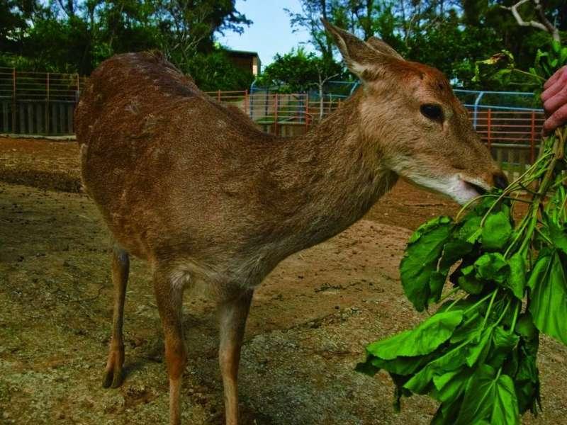 綠島也能看到小鹿,還可以親自餵。(圖/台東旅遊網)