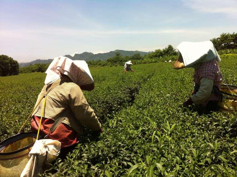 離題旅行的旅人學習採茶。(圖/寫樂文化提供)