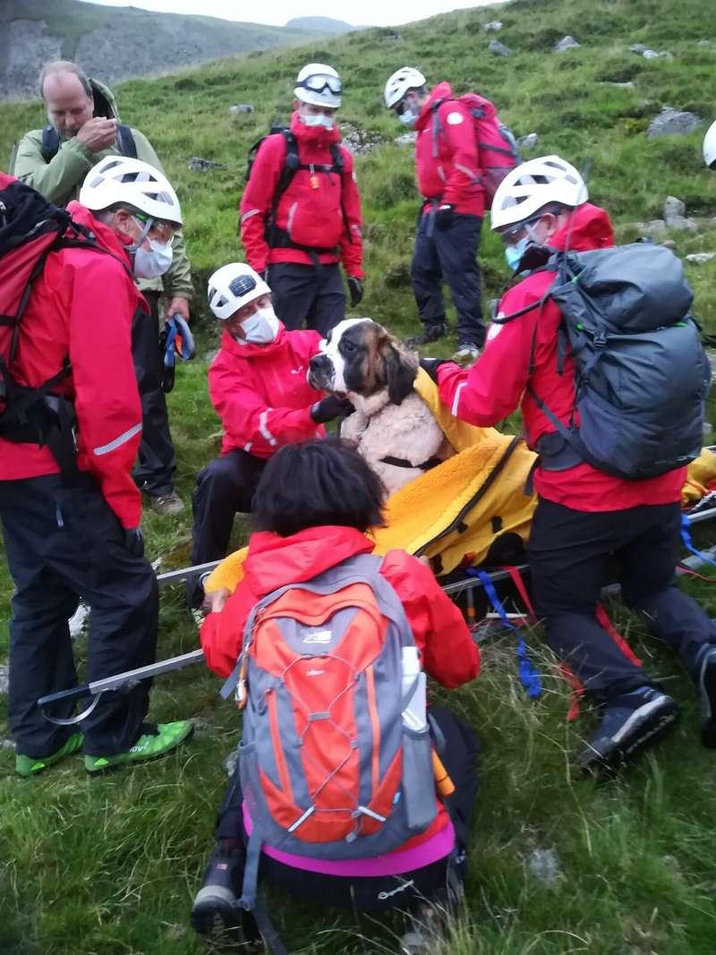 救難隊將聖伯納犬黛西安置在擔架上。(美聯社)