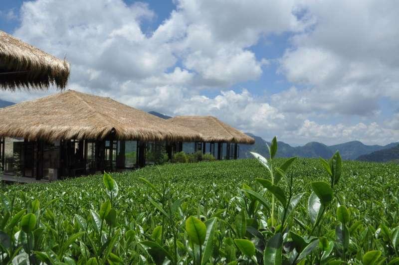 位於海拔1300公尺高山,優遊吧斯鄒族文化部落的茶園風景優美。(圖/取自YUYUPAS優遊吧斯官網)