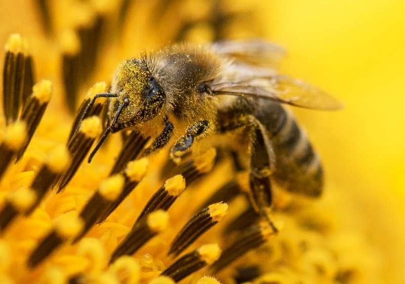 蜜蜂。(美聯社)