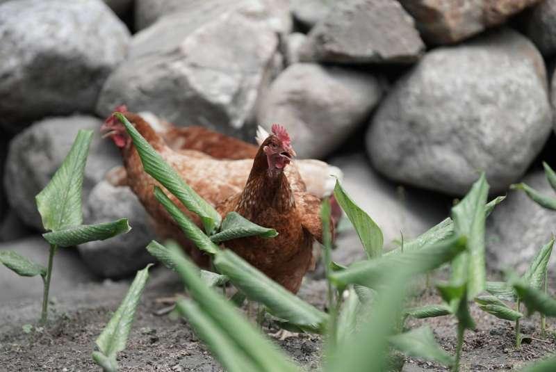 劉述義採用放牧方式養雞,生下的蛋非常美味且毫無腥氣。(圖片來源:邵冰如提供)(圖/食力foodNEXT提供)