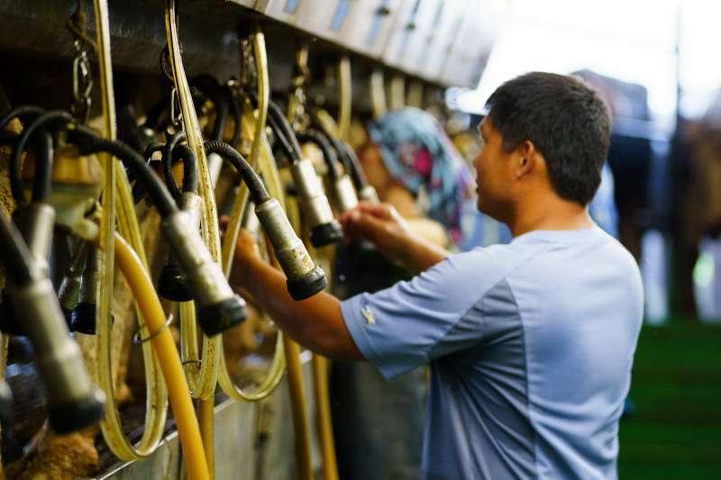 導入自動化模式,讓電腦協助管理牛隻,廖皎邦更能在合適的時間讓乳牛產乳。(圖片來源:張家琪提供)(圖/食力foodNEXT提供)