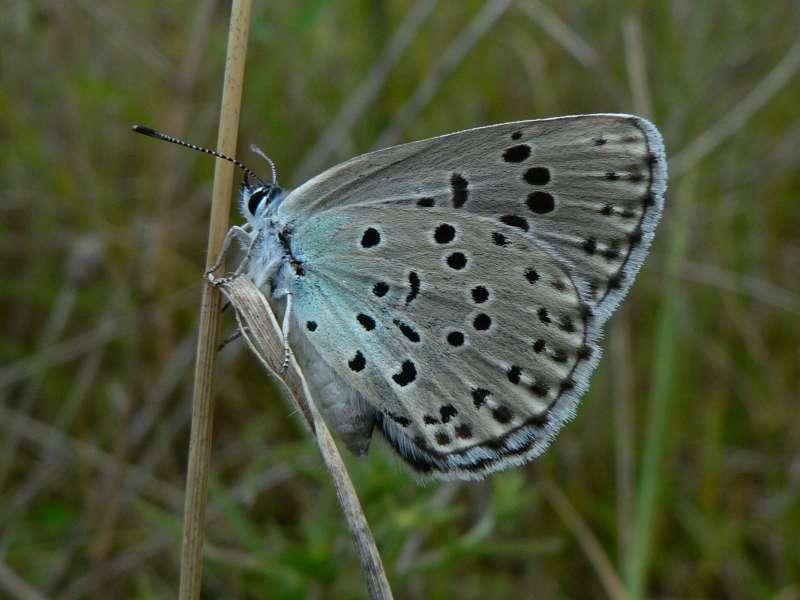 1979年即在野外絕跡的英國霧灰蝶,近年因先進復育技術再度增加,目前列為「近危」生物。(PJC&Co @wikipediaCCBYSA3.0)