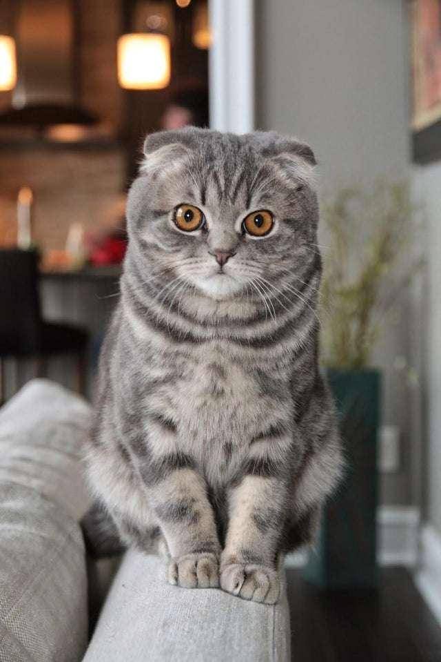 圖一、蘇格蘭摺耳貓雖然可愛,但因遺傳性疾病帶來的苦痛讓人不忍,全球各地皆有呼籲停止繁殖的聲音。(圖/Reddit)