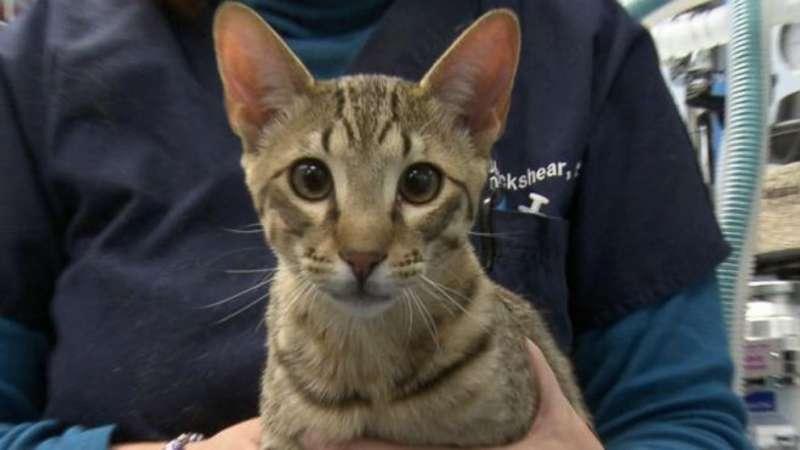 圖七、防敏感貓是人工培育的特殊品種,是過敏的愛貓人士的最愛。(圖/Medgadget)
