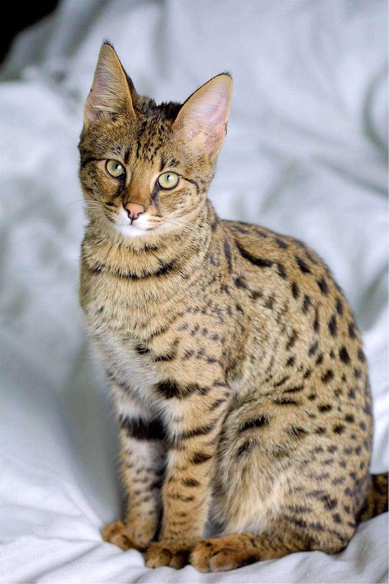 圖九、熱帶草原貓的皮毛和豹一樣漂亮,深受皇室和貴族的喜愛,但在部分國家歸類為「野生動物」,需領取特殊牌照才能飼養。(圖/Savannahcatbreed)