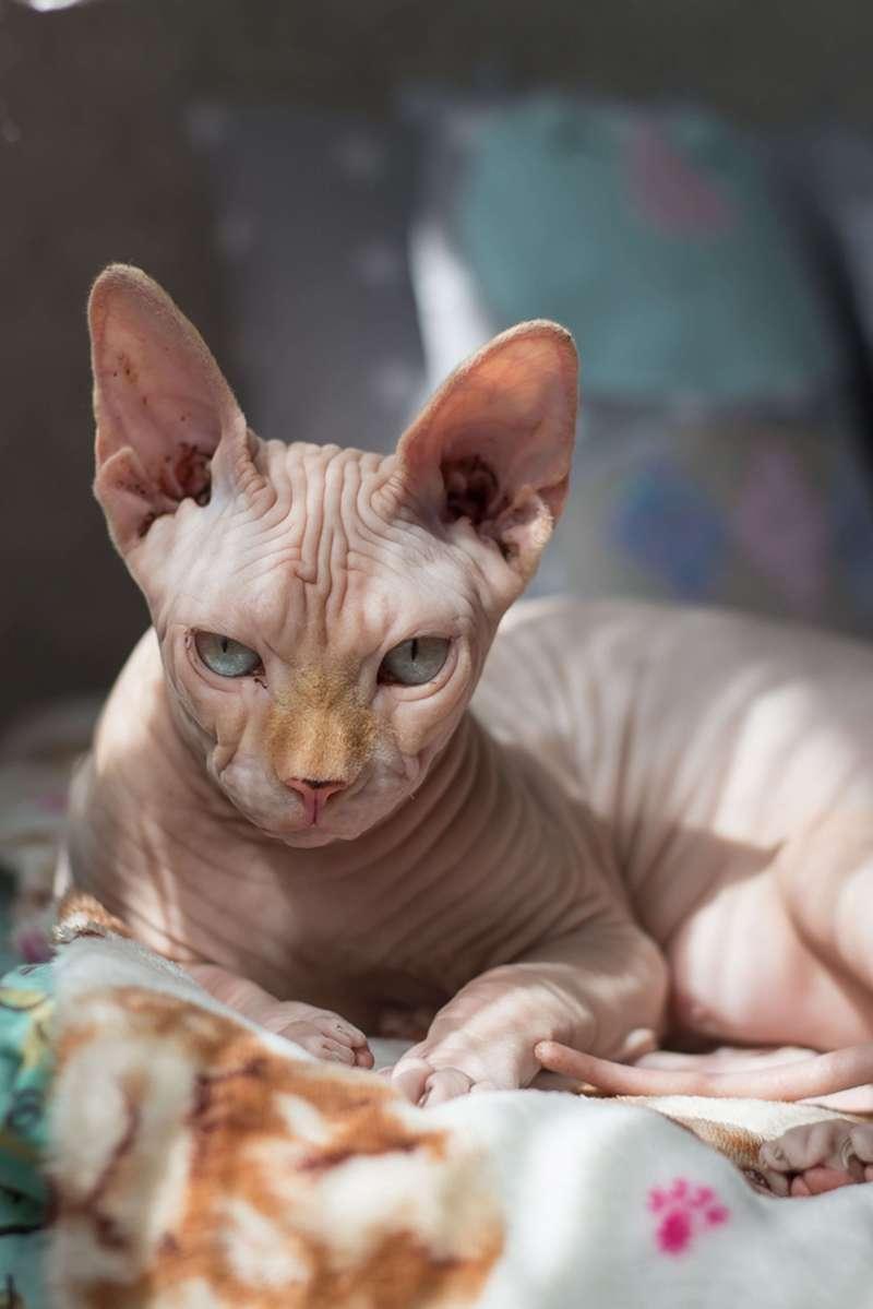 圖二、斯芬克斯貓的外表看起來可能有點不好親近,但其實牠沒有攻擊性,而且與其牠同伴都可以相處融洽。(圖/Crazyrichpets)