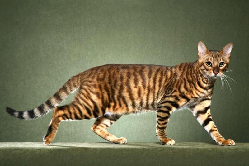 圖十、阿什拉是目前世界上身價最高的品種,外型就像小獵豹,而且壽命長達25年。(圖/Pricebuys)