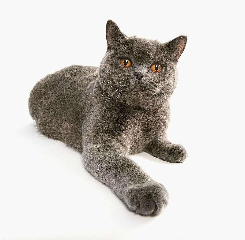 圖三、童話《愛麗絲夢遊仙境》裡面的貓咪所參考的原型就是英國短毛貓。(圖/維基百科)
