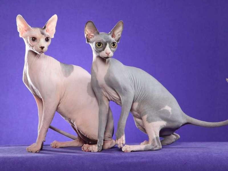 圖五、彼得禿貓屬於無毛貓品種,腿部修長,有著東方的優美氣質。(圖/Crazyrichpets)