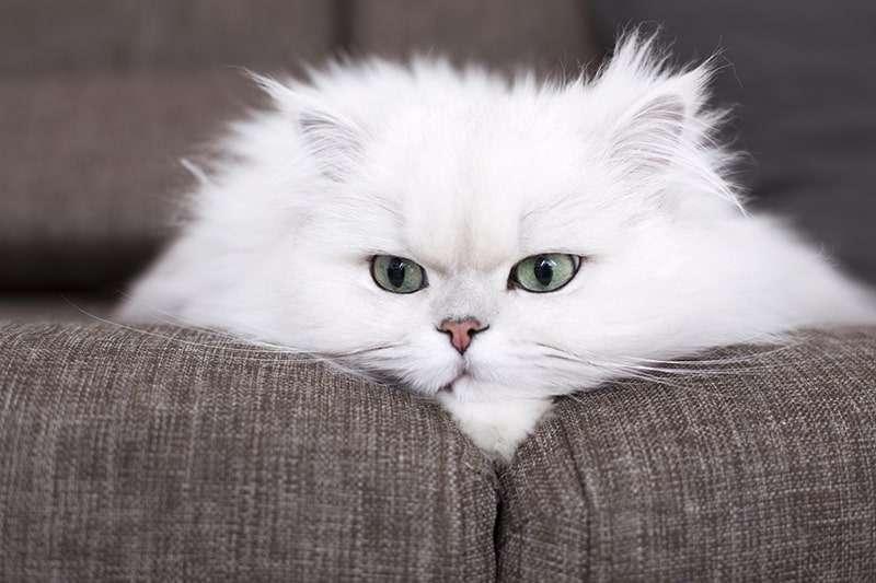 圖六、波斯貓也被稱為貓中貴族,生性溫和,慵懶的模樣深受愛貓人士喜愛。(圖/Aspcapetinsurance)
