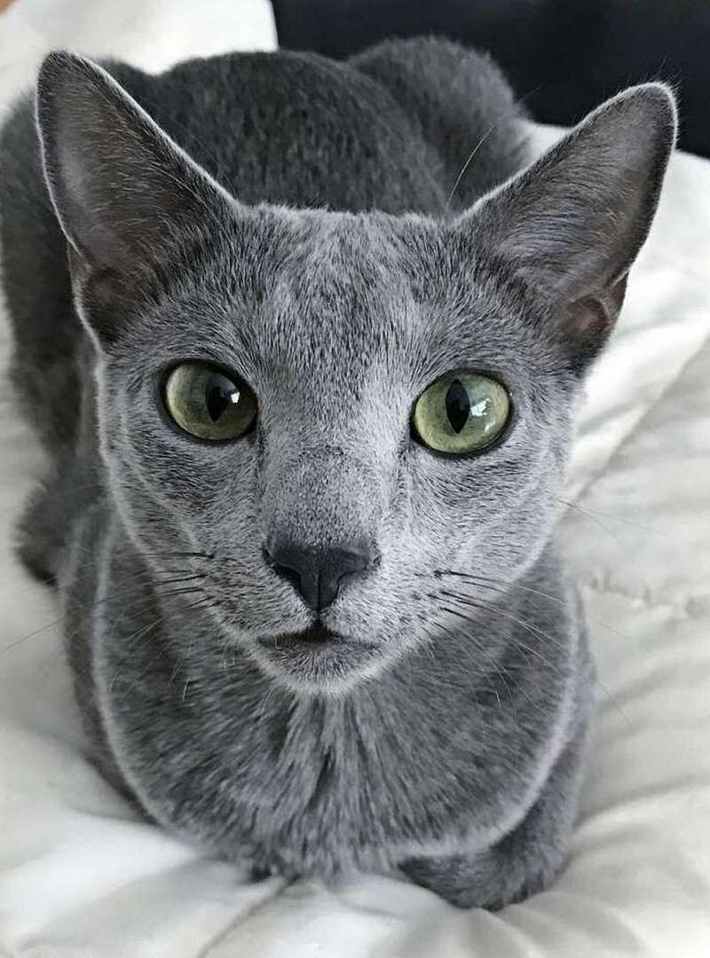 圖四、俄羅斯藍貓給人感覺高貴優雅,經典動畫《湯姆貓與傑利鼠》的TOM也以牠為原型。(圖/apkpure)