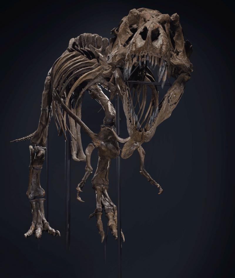 史丹高約4公尺,身長達12公尺,骨架由188塊骨頭組成,有「世上最完整、最大的霸王龍化石」之稱。(截自Christie's網站)