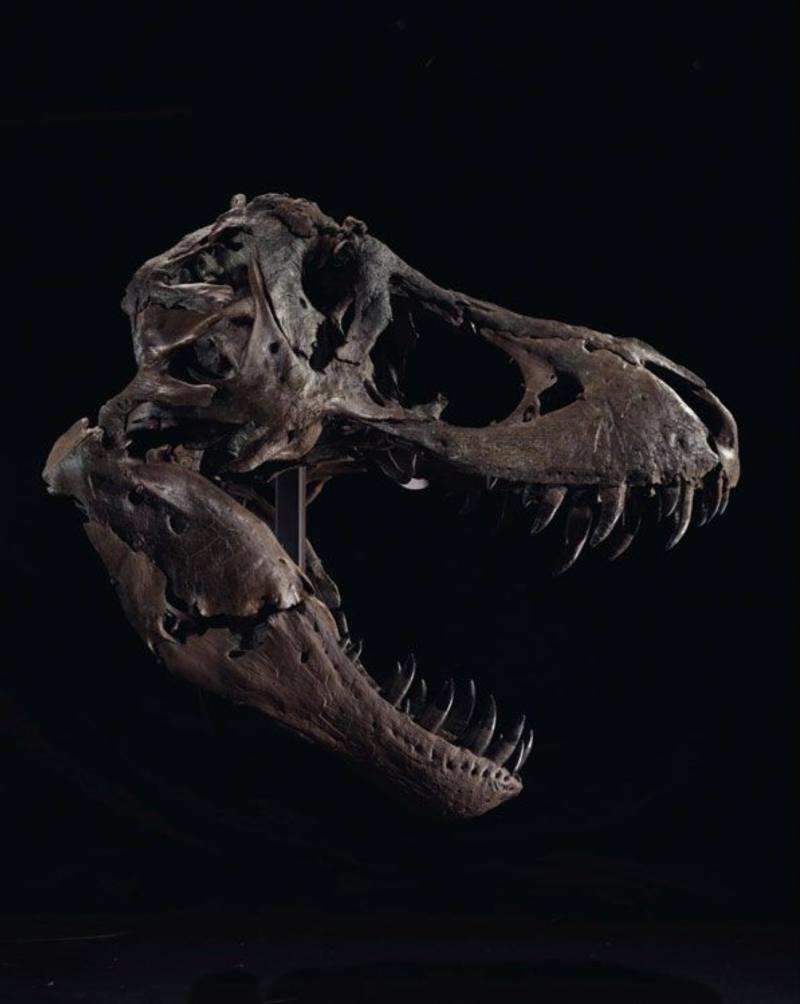 1987年,業餘考古學家史丹·薩克里森(Stan Sacrison)在地獄溪谷地層中,發現霸王龍化石「史丹(STAN)」的第一根骨頭。(截自Christie's網站)