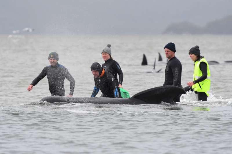 救援團隊幫助擱淺的領航鯨脫困。(塔斯馬尼亞公園暨野生動物署官網)