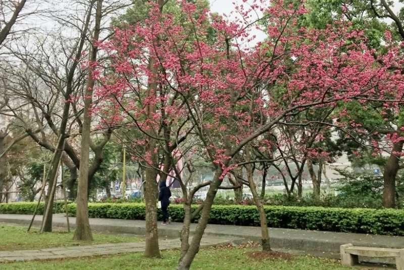 櫻花由於適合生長在氣溫較低的地方,因此多以北部社區內較常見。(圖/591房屋交易網提供)