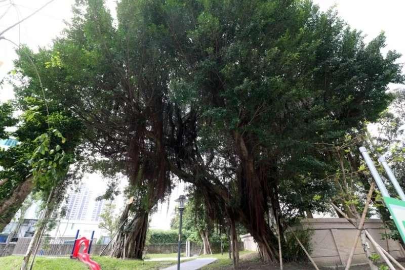 榕樹或黑板樹這一類樹根容易亂竄的樹種以公園較為常見,並不適合種在社區內。(圖/591房屋交易網提供)