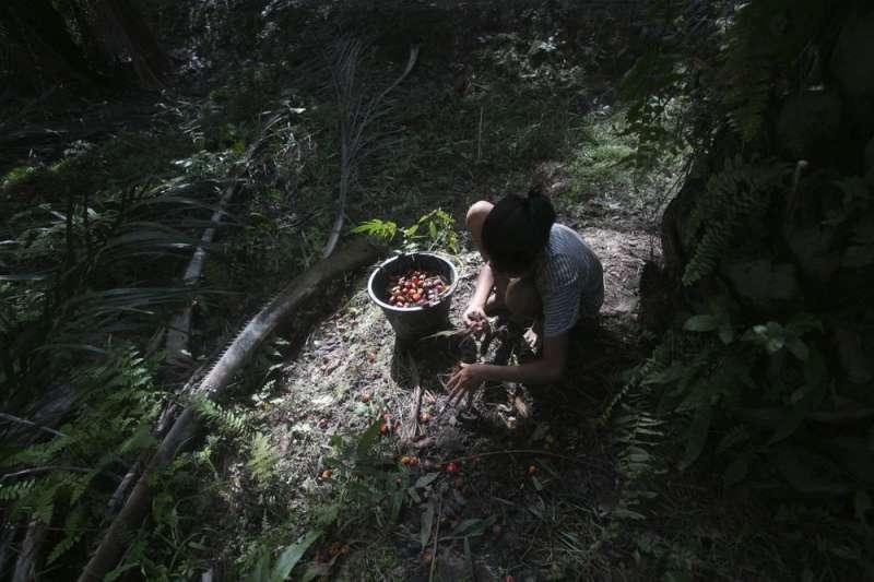 罪惡棕櫚油。一名未成年少女在印尼油棕樹園採摘果實。(AP)