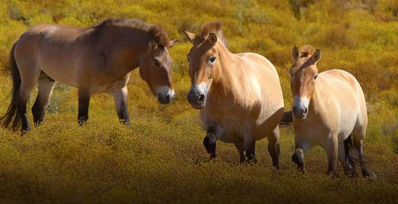 蒙古野馬2011年在世界自然保護聯盟正式被提議為「瀕危」,庫特的誕生可以說為瀕危動物復育之路點亮了一盞燈。(翻攝自聖地牙哥動物園保育研究所官網)
