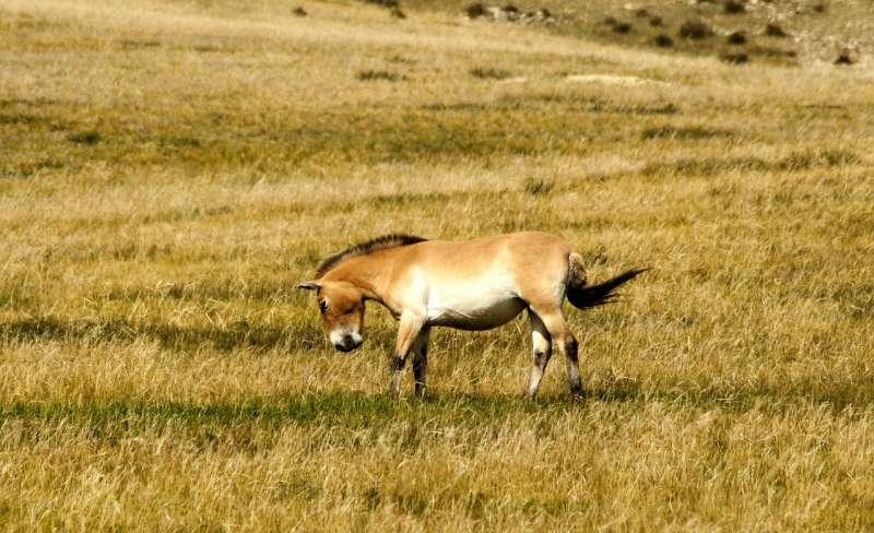 全世界蒙古野馬僅存約2000匹,除動物園外,只能在蒙古、中國及哈薩克(Kazakhstan)發現他們的蹤跡。(by Erdenebayar@pixabay)