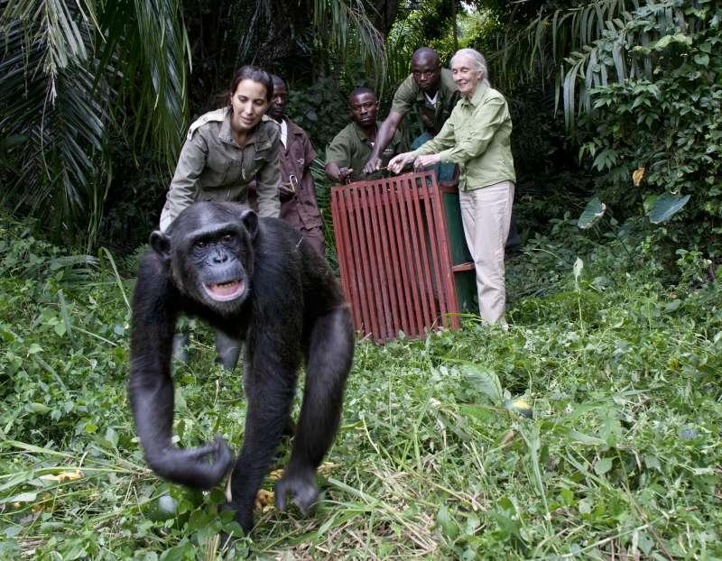英國靈長類動物學者珍古德(右)在岡果一處黑猩猩保育中心釋放一隻孤兒黑猩猩。(Jane Goodall Institute 提供)