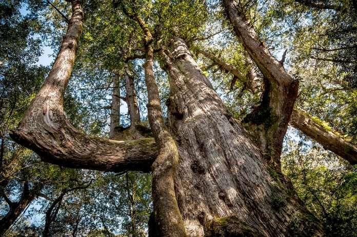 新竹景點推薦-司馬庫斯神木。(圖/好野旅遊)