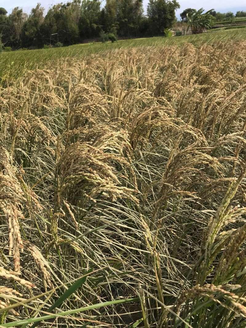 苗栗縣後龍鎮是這次宣布停灌1.9萬公頃農田的地區之一,缺水的農地已龜裂,稻子變枯黃。(圖/張嘉玲攝影)