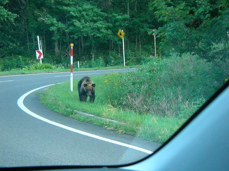 今年在日本郊區目擊熊的機率達5年來最高,迄今已有數十起「熊襲人」事件發生。(by Hajime NAKANO@flickr / CC BY 2.0)