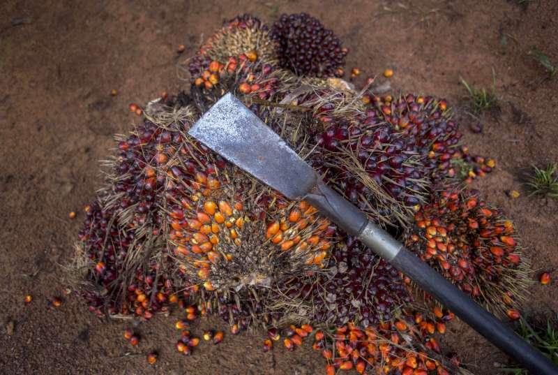 罪惡棕櫚油。油棕果榨出的棕櫚油經濟價值極高,但種植業的環境卻極端險惡。(AP)