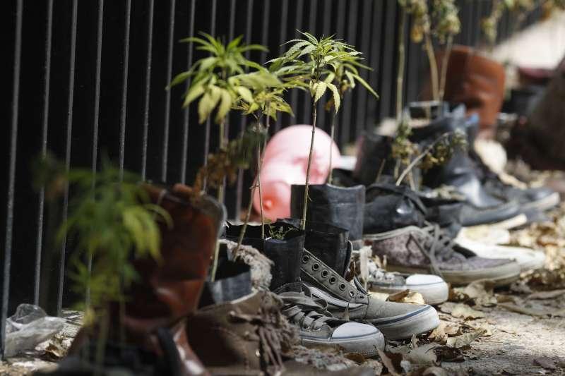 2020年11月19日,墨西哥參議院通過法案,使該國娛樂/醫療用大麻合法化的進程更進一步,圖為倡議人士在參院外種植的「大麻園」。(AP)