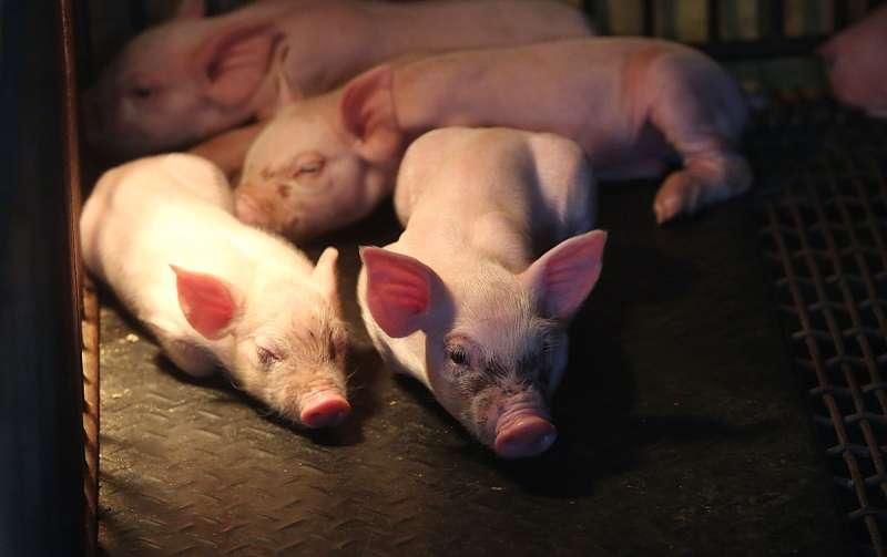 台灣本地生產的豬肉,量不足以提供內需。(新新聞資料照)