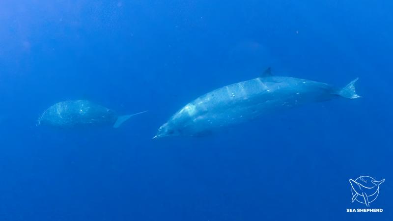 3隻鯨魚獨特的叫聲、身體特徵都與科學紀錄上的不同。(截自Sea Shepherd官網)