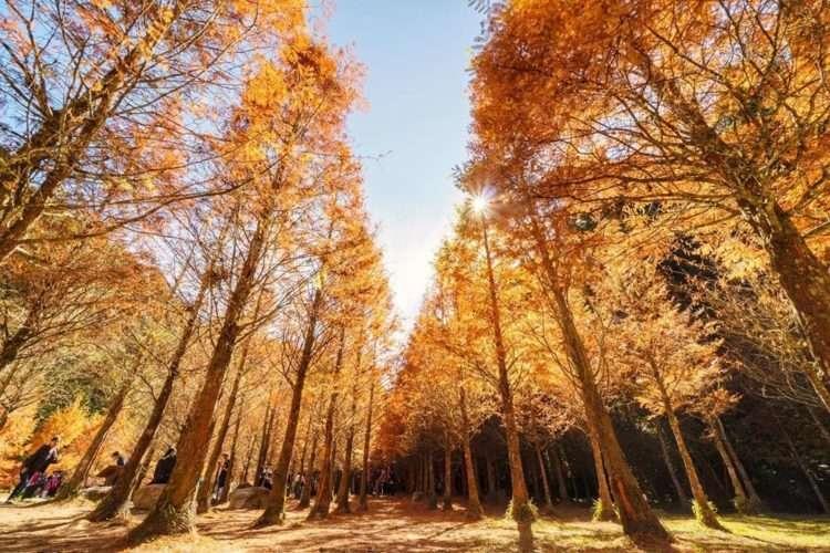 杉林溪水杉。(圖 / IG @windcv)