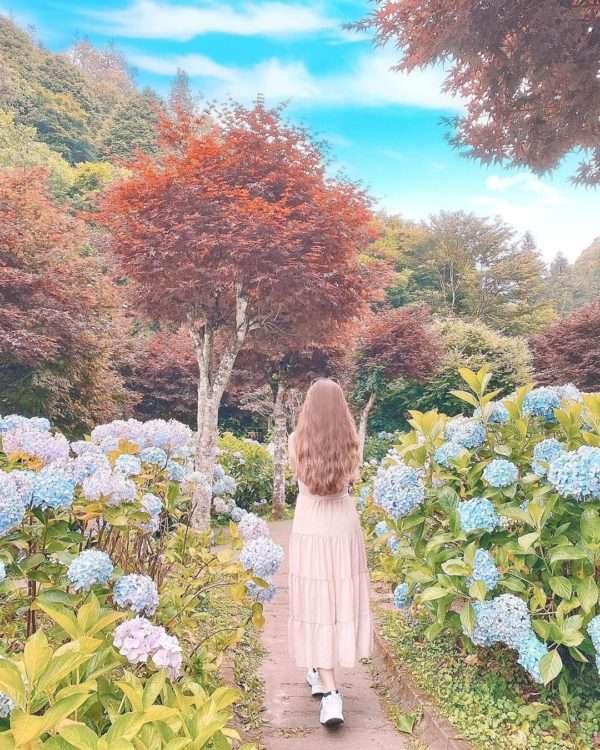 杉林溪繡球花。(圖 / IG @iamrui.c)