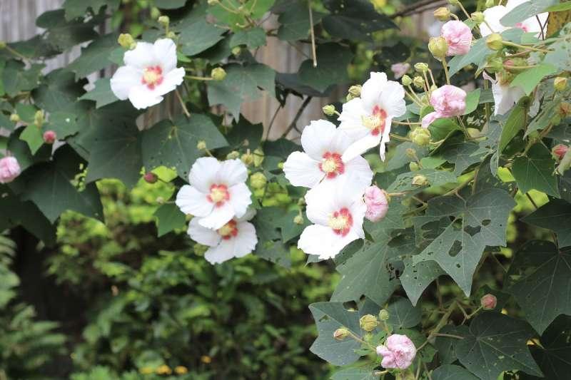山芙蓉別名「台灣芙蓉」,是台灣原生植物。(王學呈攝)