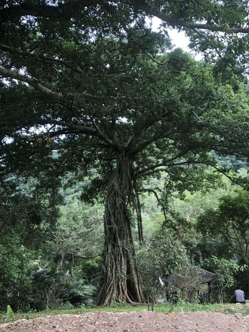 高大的千根榕,樹齡超過300年。(王學呈攝)