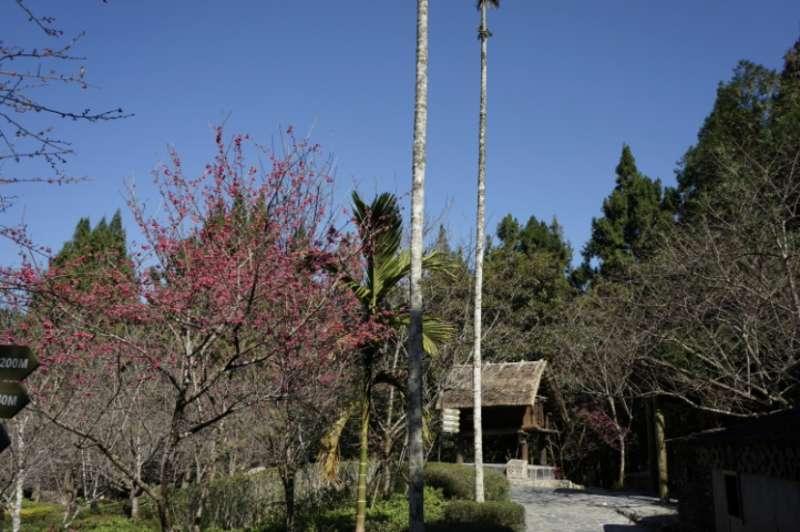 根據中央氣象局及農業試驗所對於中部櫻花花況的觀測,九族文化村推估從2月初到2月底為滿花期,範圍長達1個月。(圖/九族文化村)