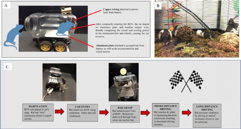實驗裝置與流程:A. 老鼠車車。B. 有一組的老鼠生活在比較爽的環境,另一組是放在標準的實驗室籠子裡(沒有照片)。C. 實驗流程:老鼠要爬進車子裡、開始駕駛、邁向終點。(圖/Behavioural Brain Research)