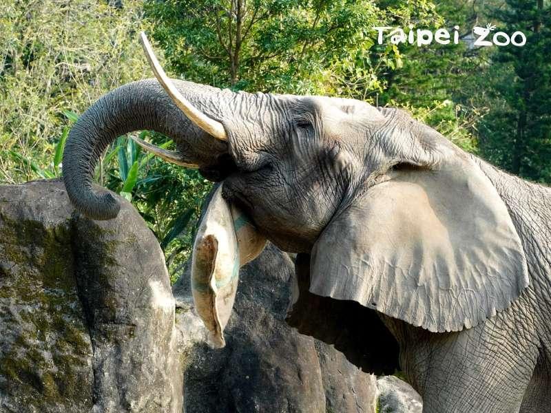 20210215-收到美食福袋的非洲象開心的笑了。(取自台北市立動物園網站)