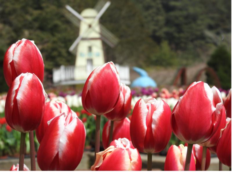 晚間遊燈會,白天賞花,杉林溪鬱金香花季將持續到三月中旬。(圖/南投縣政府提供)