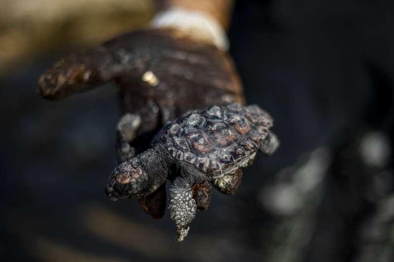 地中海東岸發生漏油事件,海龜全身覆蓋外漏的焦油。(美聯社)