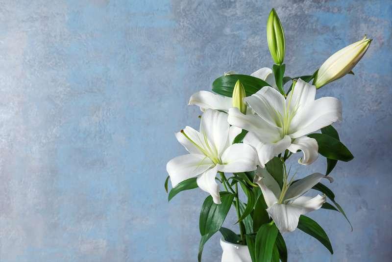 在辦公桌右側擺放百合花,有助於職場人際關係。(圖/職場熊報提供)