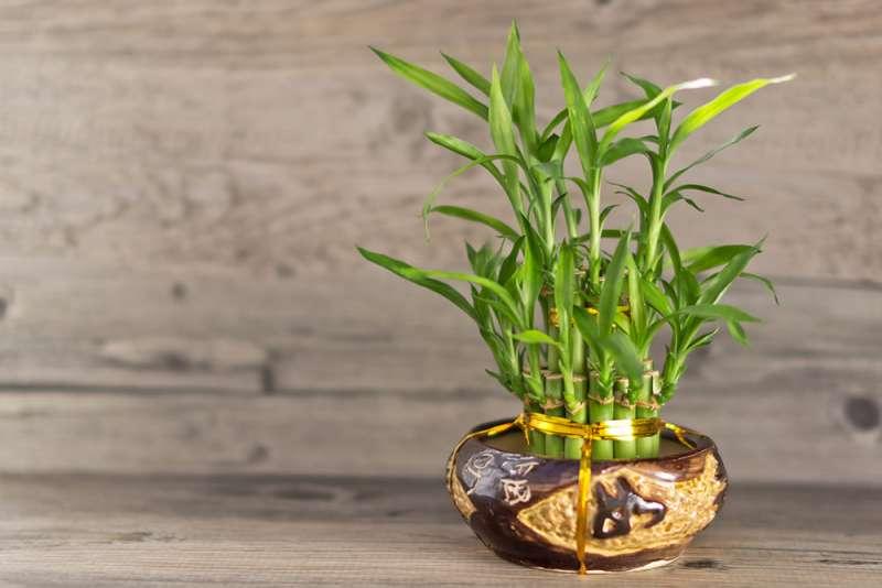 居家空間中,開運竹盆栽放置於東方的文昌位有助於職場開運。(圖/職場熊報提供)