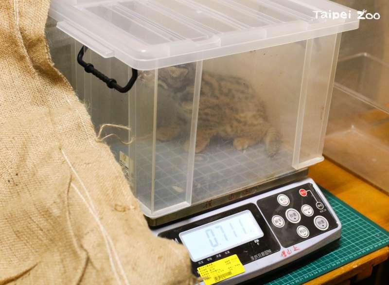 20210412-石虎寶寶量體重。(台北市立動物園提供)