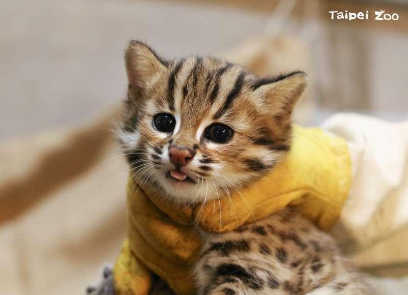 20210412-石虎3兄妹的二哥「貓攬」。(台北市立動物園提供)