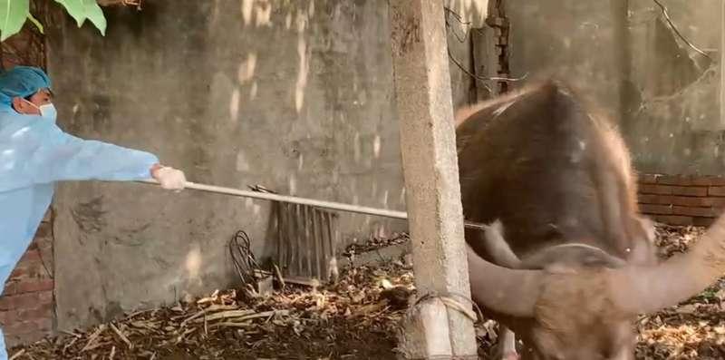 防堵牛結節疹疫情,雲林縣政府農業處及防疫所透過新研發延長注射器及省力型吹箭器,提升牛隻施打效率。(雲林縣政府提供)